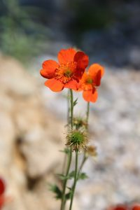mohn_orange_web